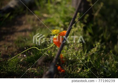 blossom, blossoms, flower 77190239