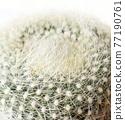 仙人掌盆的植物 77190761