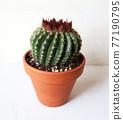 仙人掌盆的植物 77190795