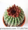 仙人掌盆的植物 77190796