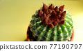 仙人掌盆的植物 77190797