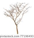 Dead tree 77196493