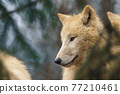 Arctic wolf (Canis lupus arctos), also known as the white wolf or polar wolf 77210461