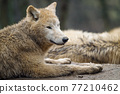 Arctic wolf (Canis lupus arctos), also known as the white wolf or polar wolf 77210462