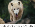 Arctic wolf (Canis lupus arctos), also known as the white wolf or polar wolf 77210463