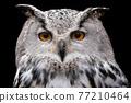 Siberian Eagle Owl on black background, Bubo bubo sibiricus. 77210464