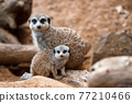 A vertical shot of a cute meerkat  sitting on a wood piece. Meerkat or suricate adult and juvenile. 77210466
