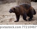 Siberian wolverine Gulo Gulo in nature 77210467