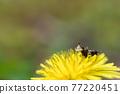 flower, flowers, dandelion 77220451