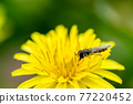 flower, gadfly, hoverfly 77220452