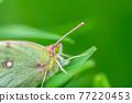 butterfly, butterflies, bug 77220453