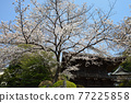 scenery, scenic, yoshino cherry 77225858