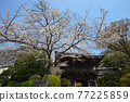 scenery, scenic, yoshino cherry 77225859