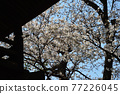 scenery, scenic, sacred tree 77226045