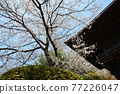 scenery, scenic, sacred tree 77226047