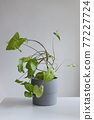 Syngonium podophyllum, a herbaceous evergreen native in gray concrete pot. Houseplant against a grey background 77227724