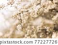 Beautiful soft spring background. Spring border or background art with beautiful cherry flowers in sun blurred and light rays 77227726