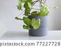 Syngonium podophyllum, a herbaceous evergreen native in gray ceramic pot. Houseplant against a grey background 77227728