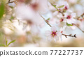 Delicate spring white cherry blossoms tree banner or horizontal background on pink background. Romantic 77227737