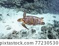 바다 거북 77230530