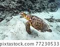 바다 거북 77230533