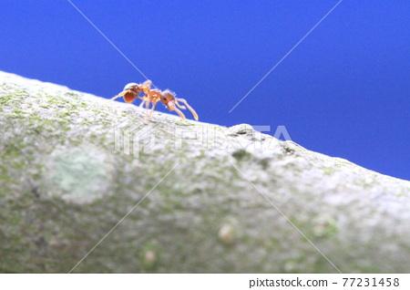 Ants walking on a tree trunk 77231458