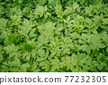 The first spring fresh herbs in the meadow. 77232305