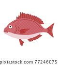 鯛魚圖 77246075
