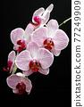 phalaenopsis orchid flowers 77249909