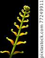 fern leaf 77249911