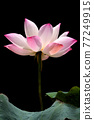 pink waterlily 77249915