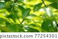 葉子 的葉子 自然 77254301