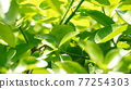 葉子 的葉子 自然 77254303