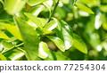 葉子 的葉子 自然 77254304