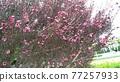 粉紅色的可愛花是gyeolbai 77257933