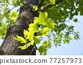 嫩葉 翠綠 鮮綠 77257973