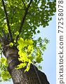嫩葉 翠綠 鮮綠 77258078
