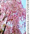 cherry blossom, cherry tree, sakura 77258819
