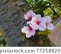 cherry blossom, cherry tree, nature 77258820