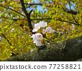 cherry blossom, cherry tree, bloom 77258821