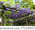 wisteria, bloom, blossom 77258947