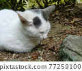 cat, pussy, stray cat 77259100