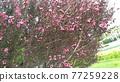 粉紅色的可愛花是gyeolbai 77259228