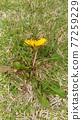 蒲公英 花朵 花 77259229