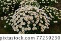 北極 花朵 花 77259230