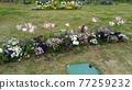 鬱金香 北極 花朵 77259232