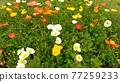 罌粟花 花朵 花 77259233