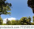 blue sky, tree, wood 77259530