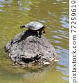 turtle, animal, animals 77259619