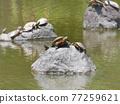 turtle, animal, animals 77259621
